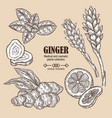ginger plant set hand drawn root vector image
