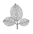 sketch branch of leaves by hand vector image