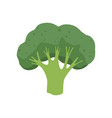 broccoli vegetable vegetarian healthy food vector image vector image