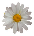 colorful naturalistic beautiful chamomile on white vector image vector image