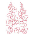 gladiolus flower vector image vector image