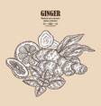 ginger plant set hand drawn composition with vector image
