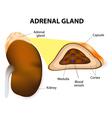 adrenal glands vector image vector image