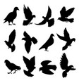 pigeons flying sitting standing going black vector image