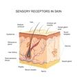Sensory receptors In skin vector image