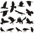 carrion crow vector image