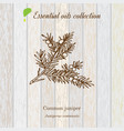 juniper essential oil label aromatic plant vector image vector image