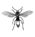 wasp hand drawing vintage engraving isolate on vector image vector image