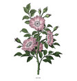 wild rose hand drawing vintage clip art isolated vector image