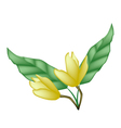 Two Yellow Magnolia Blossoms on White Background vector image
