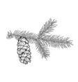 hand drawn fir tree branch with cone isolated vector image