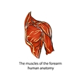 A structure of muscles of the shoulder vector image