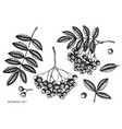 set hand drawn black and white rowan vector image