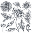 set of hand drawn chrysanthemum flowers vector image