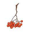 hanging bunch of red rowan ash tree berries vector image