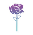 beautiful rose isolated icon vector image vector image