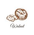 walnut sketch hand drawing vector image vector image