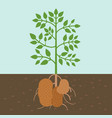 potato plant vegetable with root in soil texture vector image