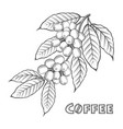 coffee branch image vector image