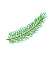 flat spruce tree branch isolated vector image vector image