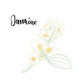 beautiful branch flower jasmine outline isolated vector image