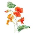 Watercolor nasturtium flower vector image vector image