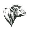 head bull dangus breed drawn in vintage vector image