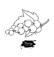 black or red currant drawing isolated vector image vector image