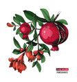 hand drawn pomegranate branch vector image