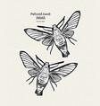 pellucid hawk moth or coffee clearwing is a moth vector image