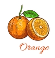 Orange citrus fruit isolated sketch vector image