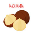 organic macadamia nut oil flat style vector image vector image