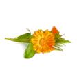 Calendula flowers vector image vector image