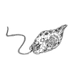 Euglena vector image vector image