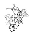 black currant freehand ink pen vector image