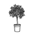 monochrome sketch orange tree or ficus vector image