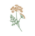 anise or aniseed hand drawn on white background vector image vector image