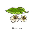 green tea natural leaves with flowers sketch vector image