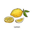 yellow lemon drawing - isolated fresh citrus fruit vector image