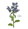 borage borago officinalis or starflower hand vector image vector image