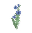 common chicory flowers and leaves isolated on vector image vector image