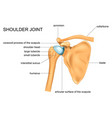 anatomy of the shoulder joint vector image vector image