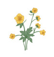 tender buttercup flowers buds and leaves hand vector image vector image