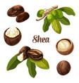 shea nuts realistic vector image vector image