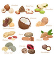 various kinds color flat realistic nuts and vector image