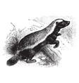 honey badger vintage vector image