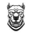 pitbull head in engraving style design element vector image vector image