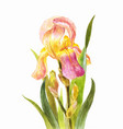 beautiful watercolor iris on a white background vector image