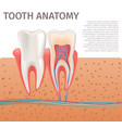 realistic tooth anatomy in 3d vector image