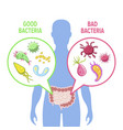human intestinal flora vector image